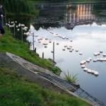 Wie in jedem Jahr gingen auch 2012 zahlreiche Lotusblüten auf den Kleinen Kiel (Bild: DS)